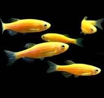 تصویر ماهی زبرا زرد