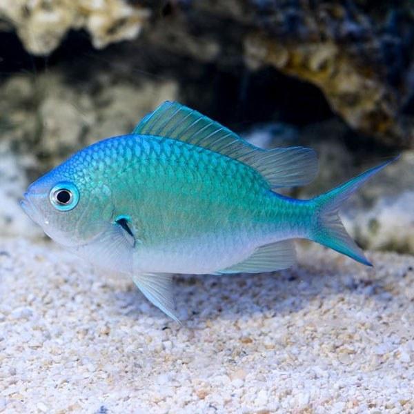 تصویر کرومیس سبز آبی – Blue-Green Reef Chromis