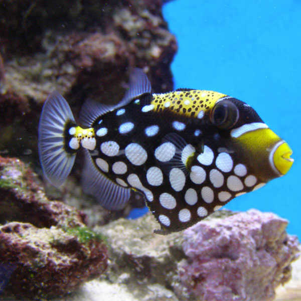 تصویر ماشه ماهی پیکاسو کلون – Balistoides conspicillum
