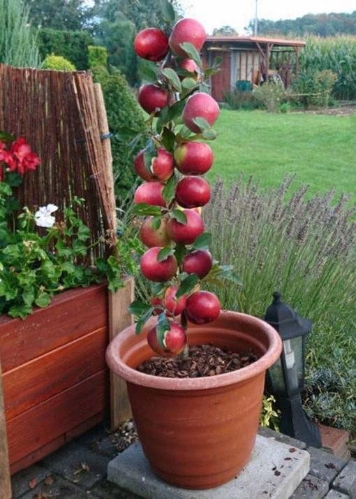 نهال سیب تک شاخه پاکوتاه گلدانی پایه M7