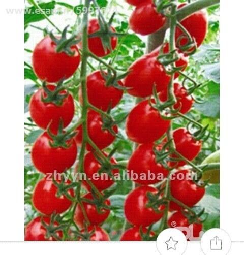قرمز، خوشه ای و خوش طعم | بسته 100 عددی بذر گوجه چری super sweet