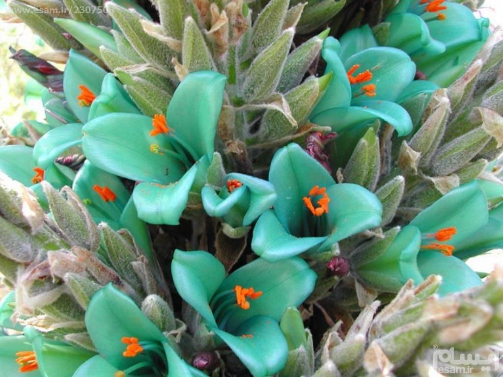 بذر کمیاب گل پویا آبی Puya Berteroniana |