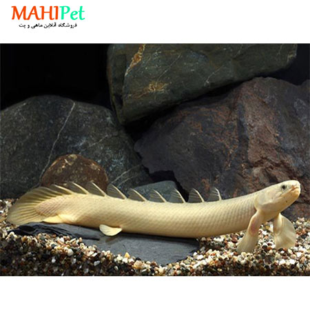 تصویر ماهی پولی آذرخش 7 تا 10 سانت