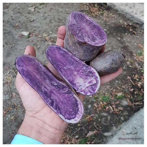 تصویر سیب زمینی بنفش (قابل کاشت و خوردن)