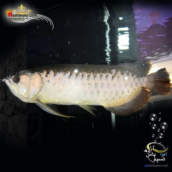تصویر ماهی آروانا های بک شناسنامه دار سایز بزرگ