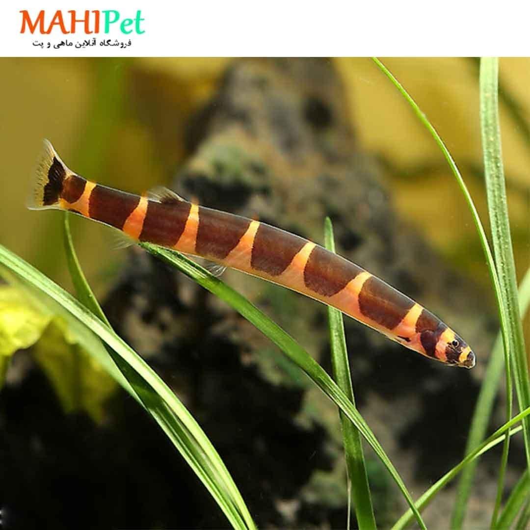 تصویر ماهی لوچ نیم نوار ۷ تا ۱۰ سانت