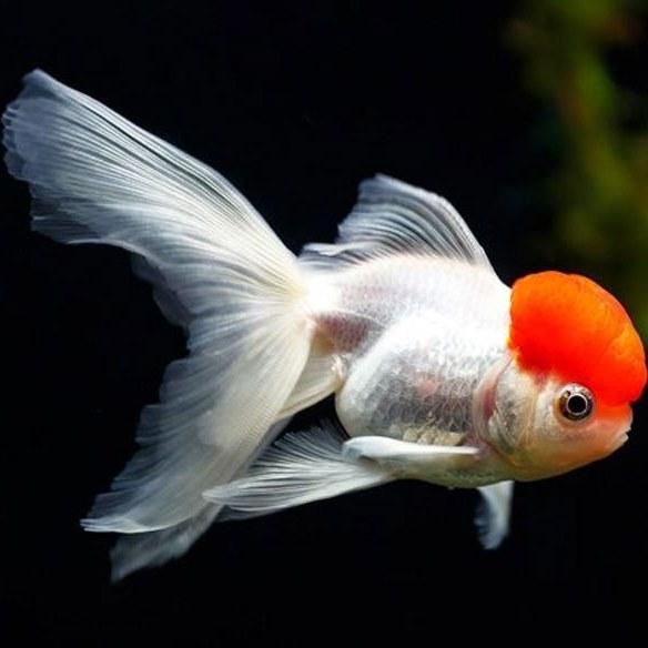 تصویر گلد فیش ردکپ – RedCap GoldFish