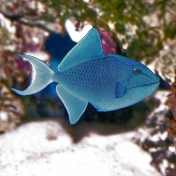 تصویر ماشه ماهی نایجر – Niger Triggerfish