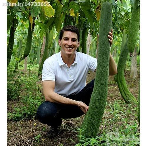 بذر گیاه لیف طبیعی  Luffa