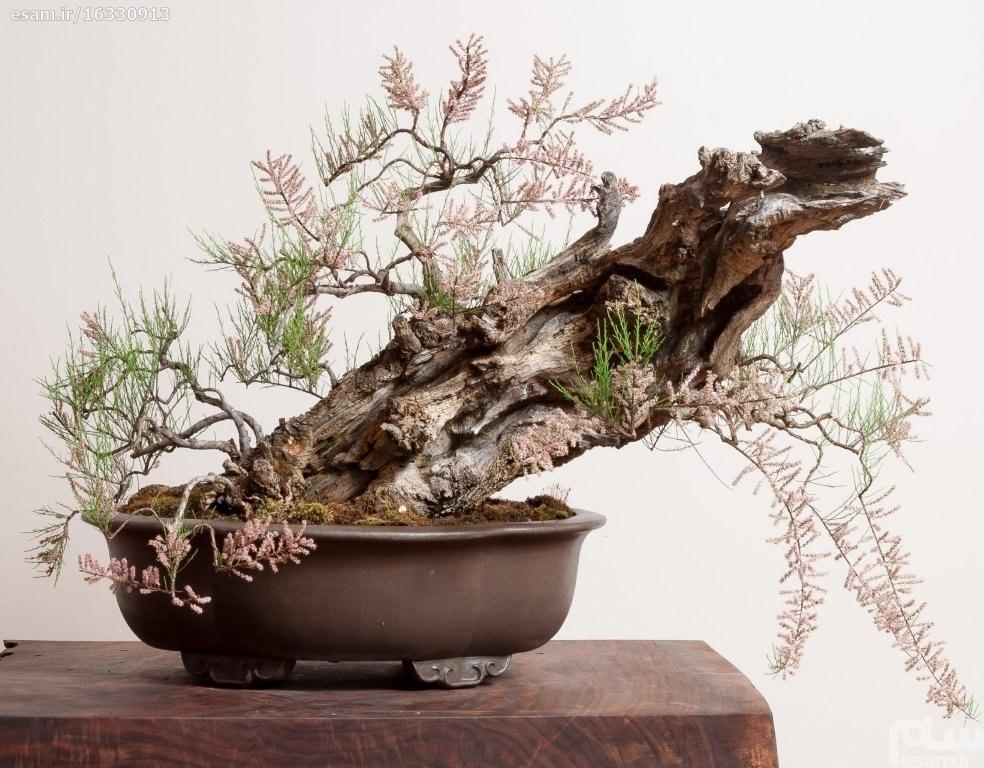 """بذر بنسای Tamarix ramosissima/ بونسای گلدار کمیاب   بسته ی 200 عددی بذر بنسای گیاه بومی """" درخت گز راموسیسیما """""""