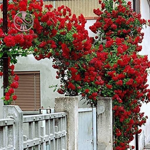 بذر گل رز رونده قرمز |