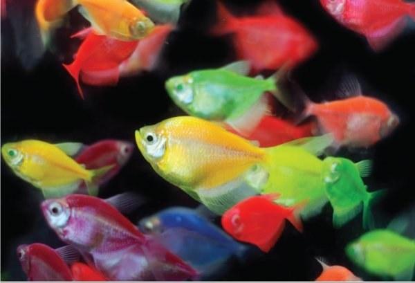 ماهی ویدو رنگی colored widow tetra fish