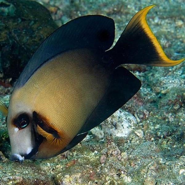 تصویر جراح ماهی شکلاتی بالغ – Chocolate Surgeonfish Adult