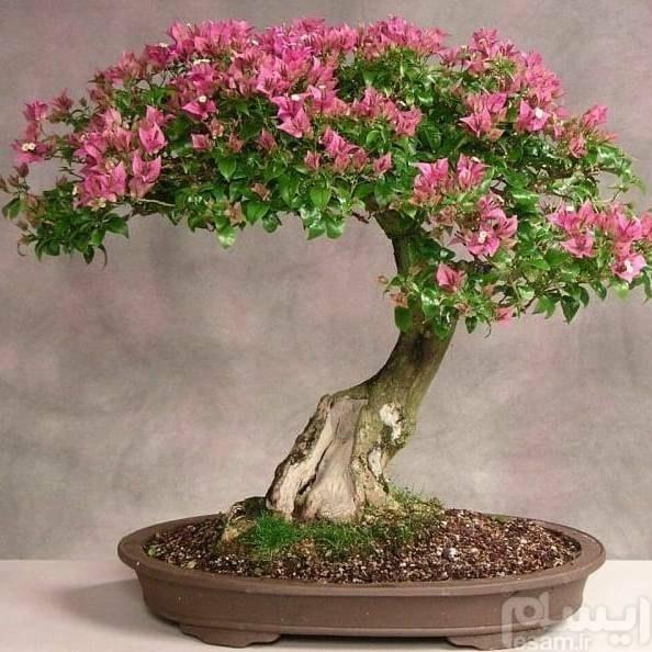 Bougainvillea bonsai   بذر بنسای گل کاغذی