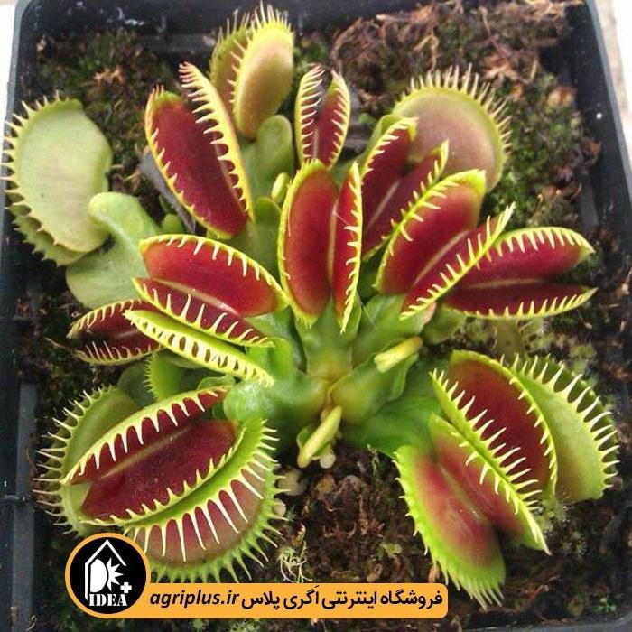 بذر گیاه حشره خوار Venus Flytrap بسته ۱۰ عددی
