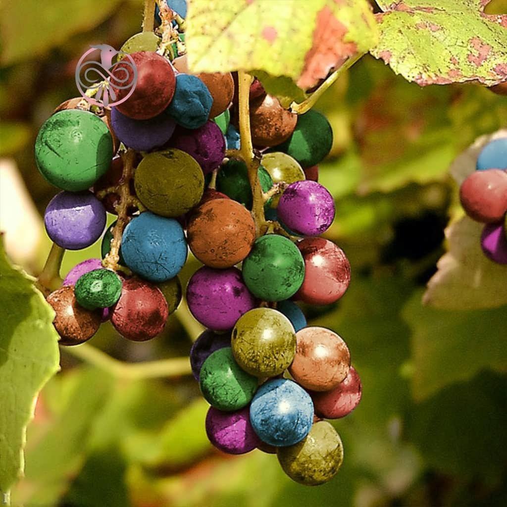 بذر انگور رنگین کمان |