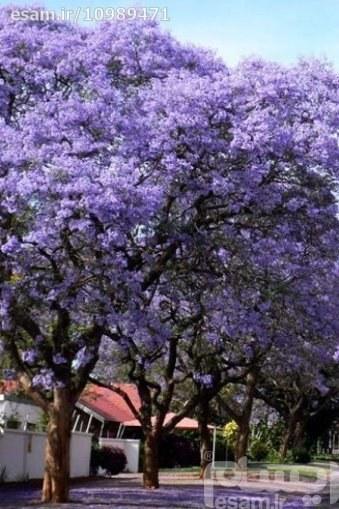 50 بذر درخت پالونیا ملکه Paulownia tomentosa | بسته 50 عددی بذر درخت پالونیا ملکه (Paulownia tomentosa (PrincessTree