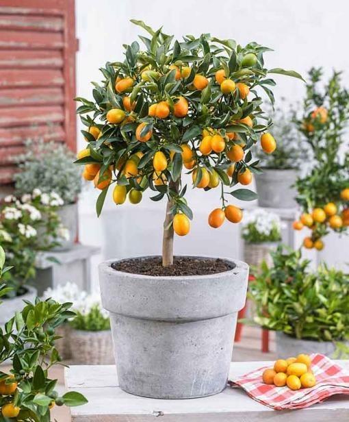 نهال کامکوات یا پرتقال مینیاتوری پر محصول 2 ساله