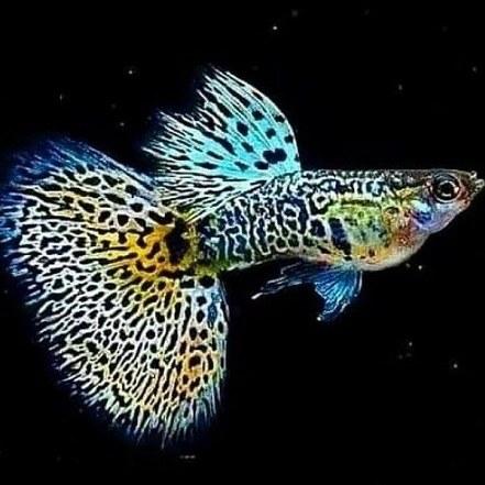 تصویر ماهی گوپی