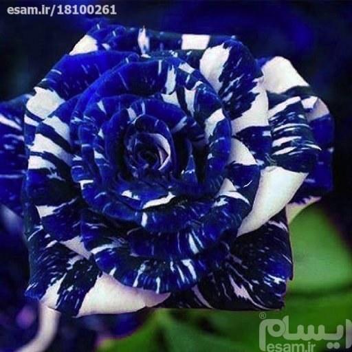 بذر گل رز-اژدهای آبی