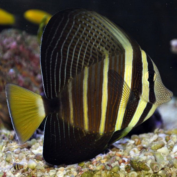 تصویر جراح ماهی بادبانی – Sailfin Tang