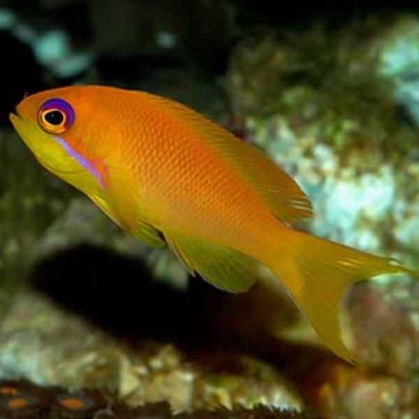 تصویر ماهی آنتیاس دم چنگی – Indian Ocean Lyretail Anthias