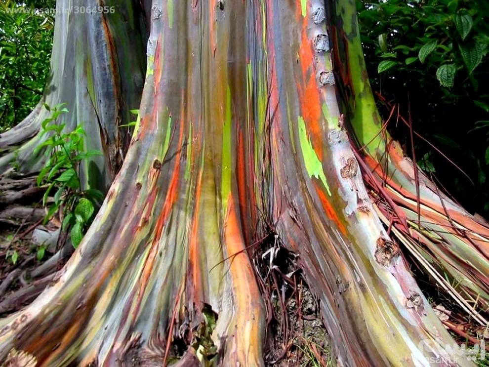 بذر درخت اکالیپتوس رنگین کمانی | 5 عدد بذر وارداتی درخت اکالیپتوس رنگین کمانی