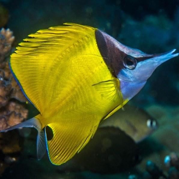 تصویر پروانه ماهی لانگ نویز – Longnose Butterflyfish