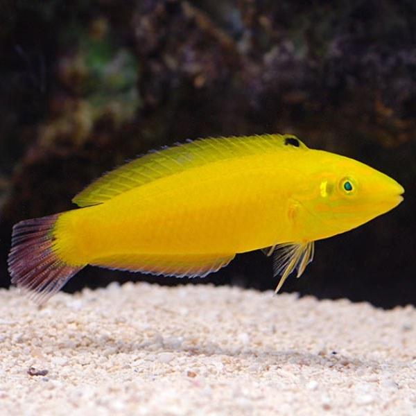 تصویر راس زرد – Yellow Wrasse Male